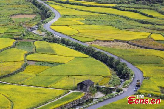 Picturesque scenery of golden rice paddy in Jiangxi