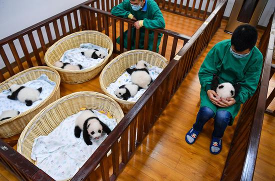 Eight delivered panda cubs this year pictured in Sichuan