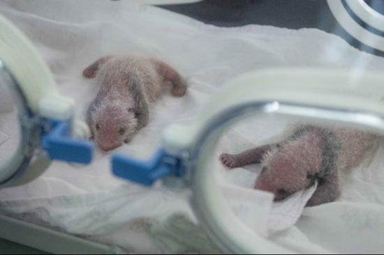 Pigeon pair panda cubs born in China's Chongqing