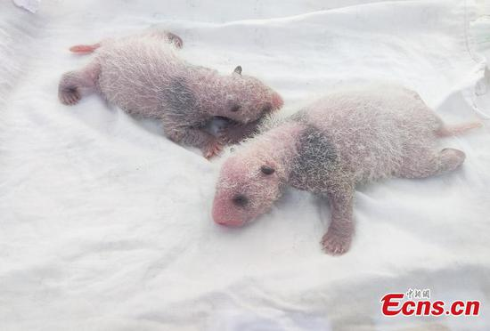 Another pair of panda cubs born at Chongqing Zoo