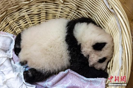 Cute baby pandas at Sichuan's base