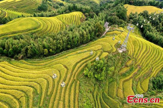 Golden terraced fields expected to attracts 110,000 tourists in upcoming holiday