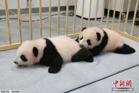 Twin panda cubs at Tokyo zoo named Xiao Xiao, Lei Lei