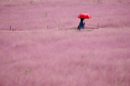 Pink grass field in Nanjing enchants tourists