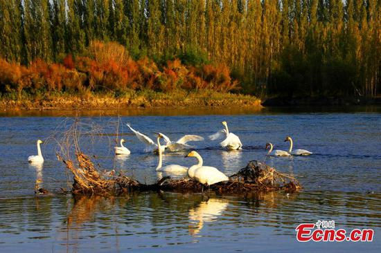Migratory swans leave Xinjiang one month earlier than usual