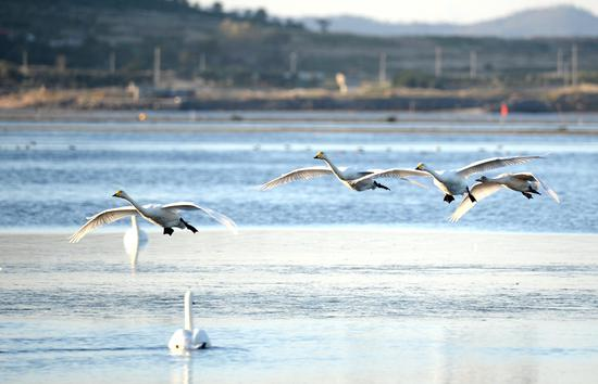 Whooper swans migrate to nature reserve in Shandong for winter