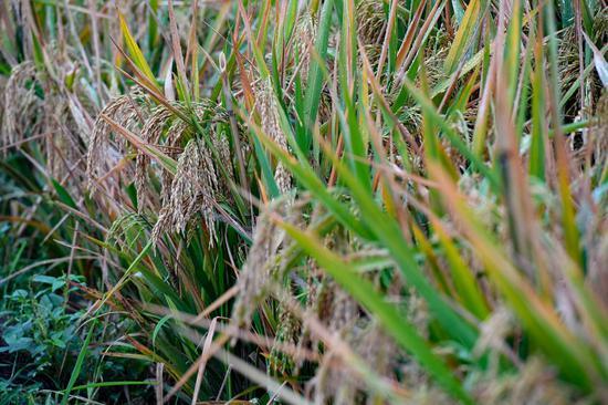Third-generation hybrid rice achieves high yield
