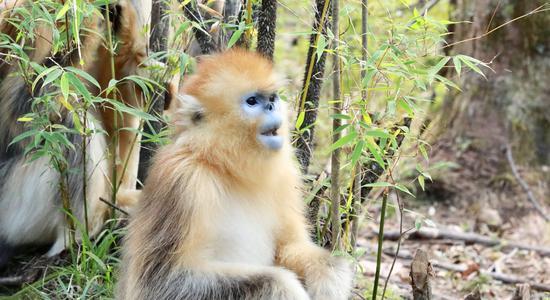Golden snub-nosed monkeys in Hubei Shennongjia enter gestation period