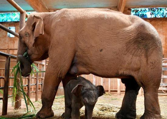 Kunming Zoo welcomes a newborn Asian elephant calf