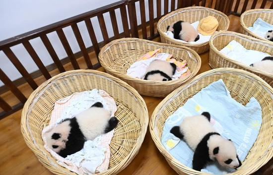 Giant panda cubs in Wolong National Nature Reserve in Sichuan