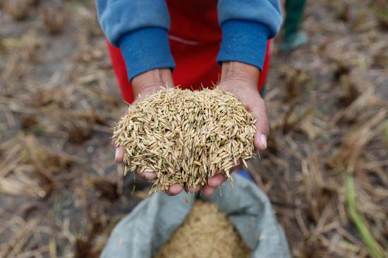 Perennial rice 'Yunda 107' sees first harvest in Yunnan terraces