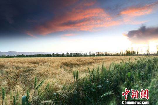 傍晚时分走进麦田,随着一阵清风拂过,荡起阵阵麦浪。 左裕圆 摄