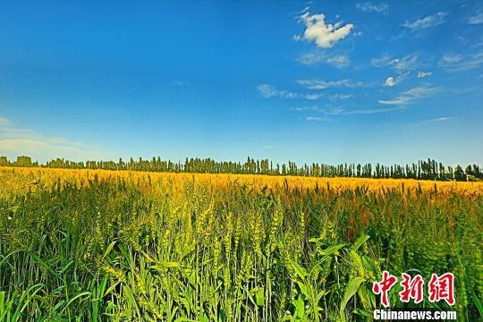 新疆焉耆县小麦即将迎来收获季。 左裕圆 摄