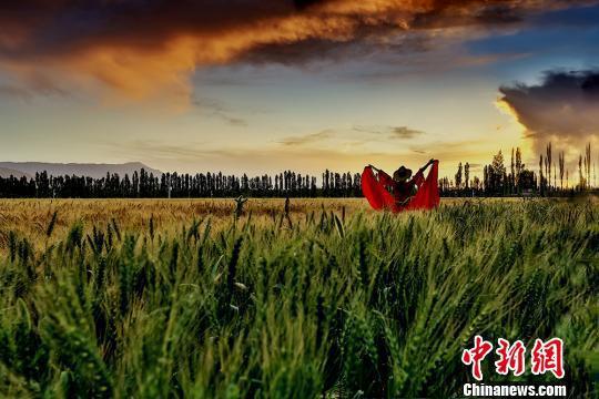 新疆焉耆县小麦即将迎来收获季,呈现出一派丰收的景象。 左裕圆 摄