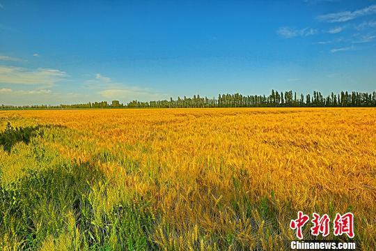 成片的麦田里,小麦金黄。 左裕圆 摄