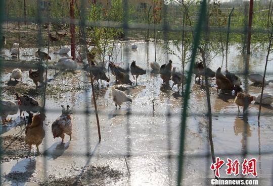 新疆兵团第六师芳草湖农场职工发展养殖增收。 戚亚平 摄