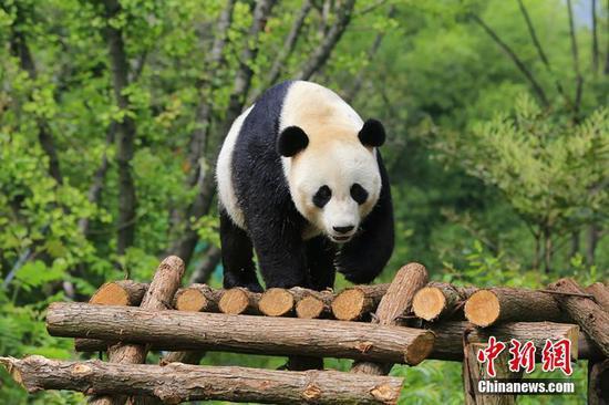 """大熊猫""""云涛""""享受""""清凉"""" 玩耍姿态十分可爱"""