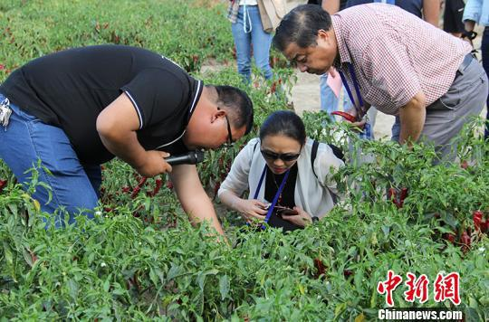 海外华文媒体在新疆兵团第二师二十一团辣椒地采访。 戚亚平 摄