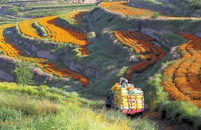 工人将刚采摘的万寿菊装车。记者 李涛 王洋 摄