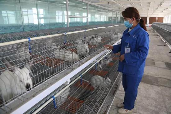 圖為和田鑫美農牧科技發展有限公司的兔舍。(王建軍拍攝)