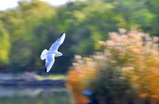 红嘴鸥优美的身影从湖面略过。(宁夏日报记者 马楠 文/图)