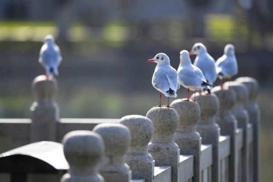 成百上千的红嘴鸥为深秋的湖城带来无限生机。