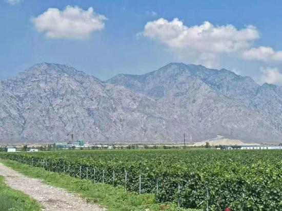 贺兰山东麓成为国内酿酒葡萄集中连片最大产区。姜峰摄(2018年)