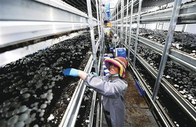 6月28日,走进闽宁镇双孢蘑菇工厂化栽培示范基地的生产车间,一朵朵白色的双孢菇破土而出,农民正忙着采摘。