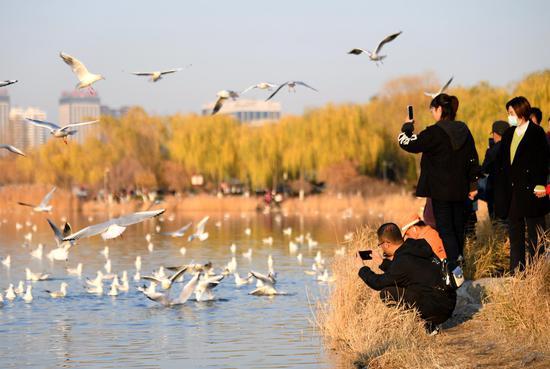 红嘴鸥的到来为城市增添了几分生机与活力。
