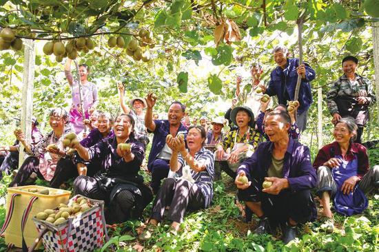 猕猴桃获丰收。