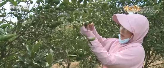 广西鹿寨金桔飘香迎丰收 农民欣喜采摘忙