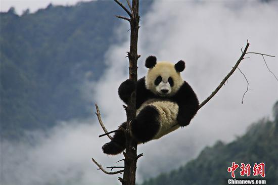 中国大熊猫保护研究国际摄影大赛作品精选