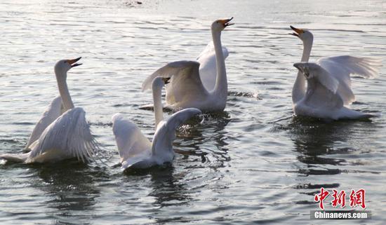 孔雀河封冻240只越冬天鹅转场杜鹃河