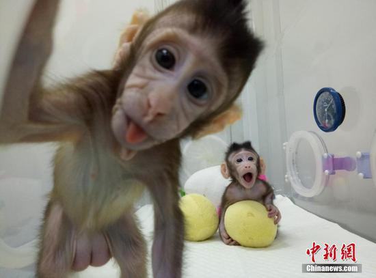中国科学家成功培育全球首个体细胞克隆猴