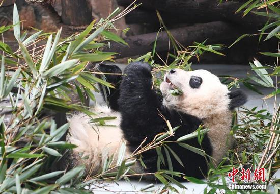 """成都回应网传""""虐待大熊猫""""事件"""
