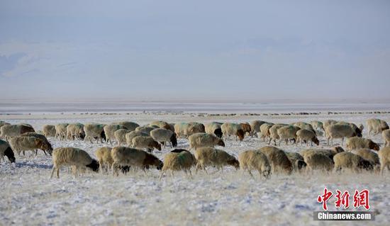 新疆巴音布鲁克草原严寒 牧民雪地放牧盼转场