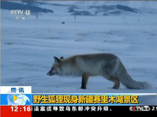 野生狐理现身新疆赛里木湖景区