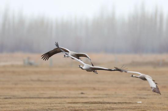 新疆哈巴河湿地汇集千只蓑羽鹤