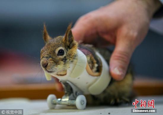误落陷阱丧失前爪 土耳其小松鼠穿轮滑假肢重获新生