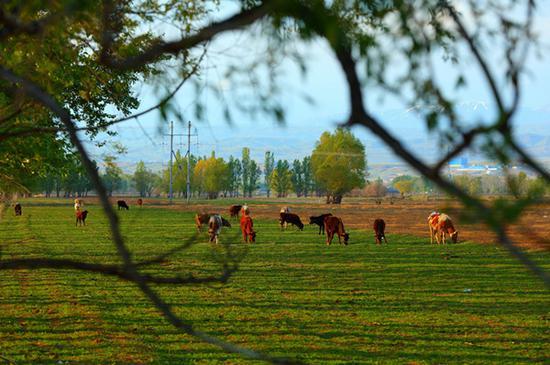 新疆哈巴河县春来晚
