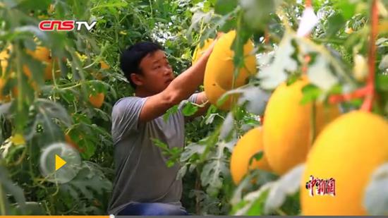 新疆托克逊合作社大棚种瓜果 电商平台助力农民增收