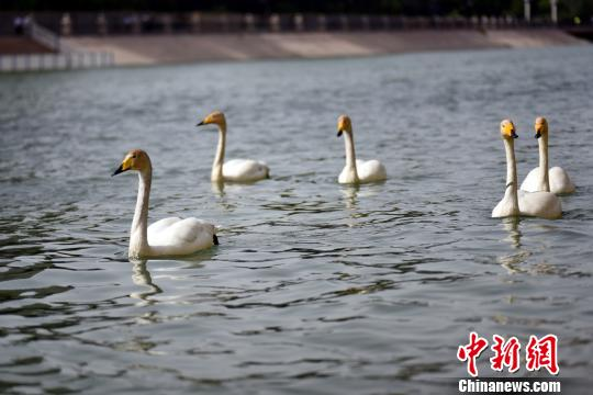 """五只天鹅""""逛""""新疆孔雀河"""