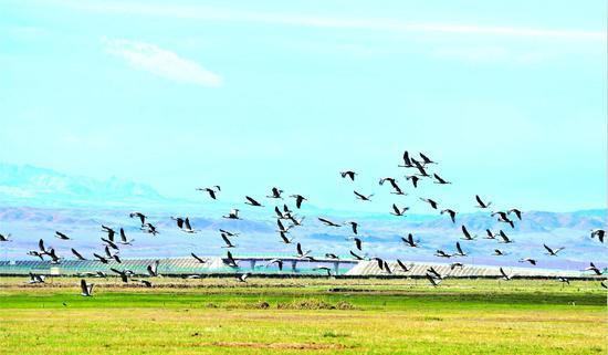 新疆:生态保护见成效草原再现北归候鸟
