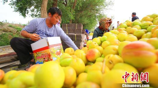 新疆托克逊县杏子熟了