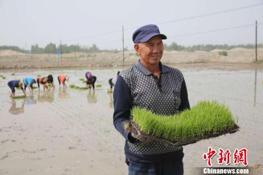 新疆岳普湖县试种袁隆平海水稻 将启动机械插秧(图)