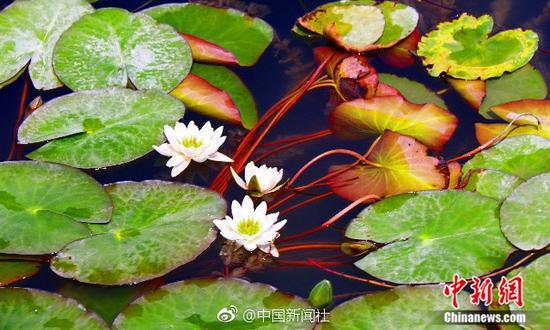 """美!中国最大内陆淡水湖数万亩野生""""睡莲""""竞相开放"""