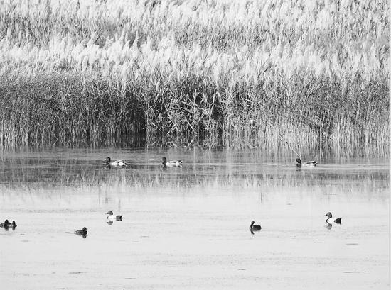 新疆兵团:沙漠湿地野鸭戏水