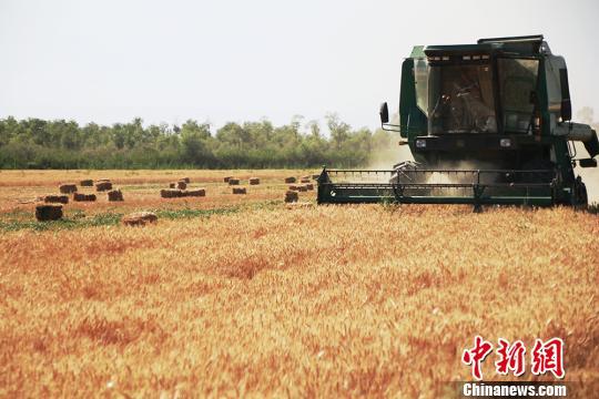 新疆南部冬小麦有序收割确保颗粒归仓