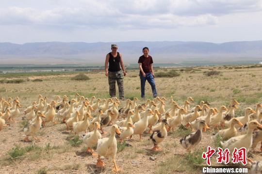 新疆兵团农场投放千只鸭苗治理草场蝗灾