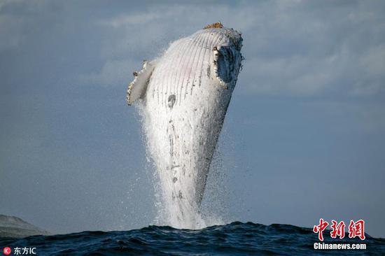 20吨重座头鲸冲出水面身体与海面垂直